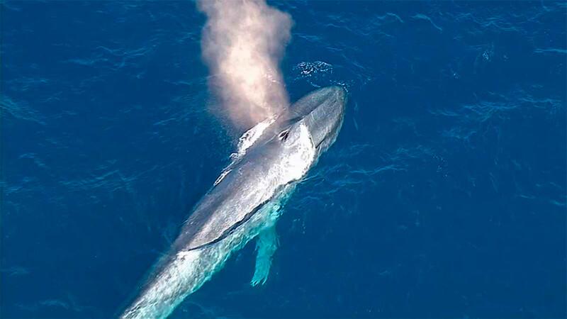 Ballena azul expulsando aire