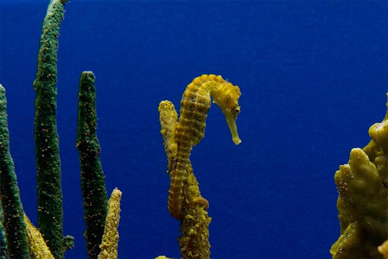 Caballito de mar agarrado a un coral