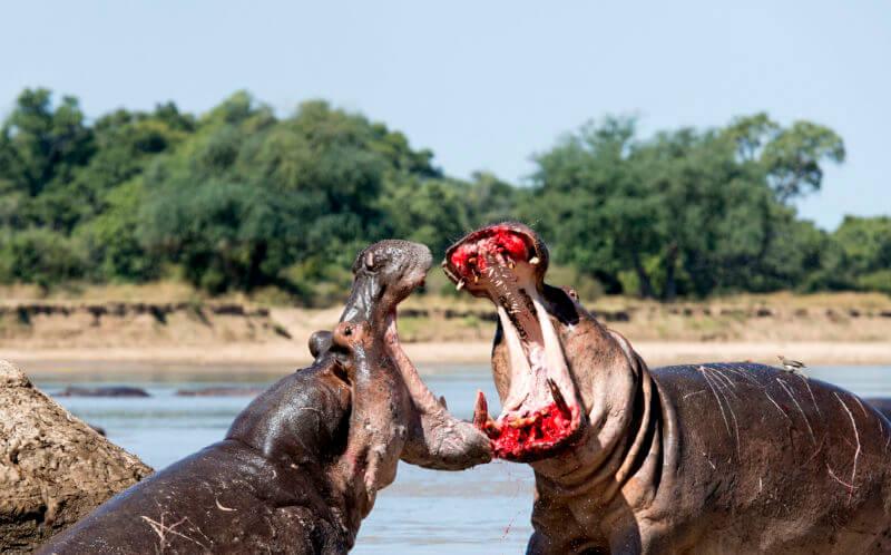Dos hipopótamos peleando.