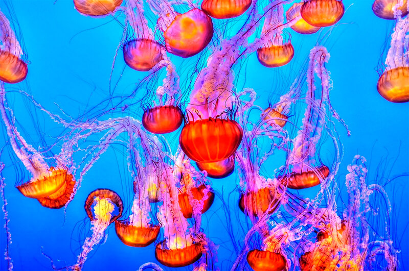 Colonia de medusas