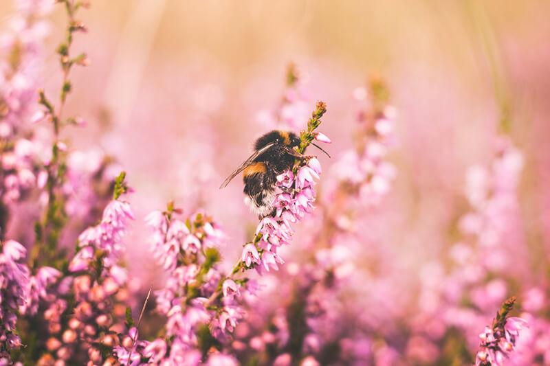 Abeja (insecto) extrayendo el néctar de una flor