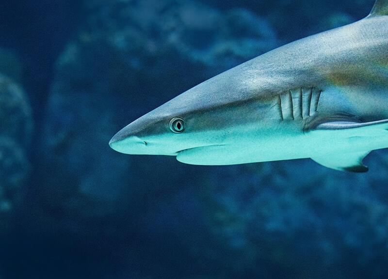 El tiburón es un animal ovovivíparo