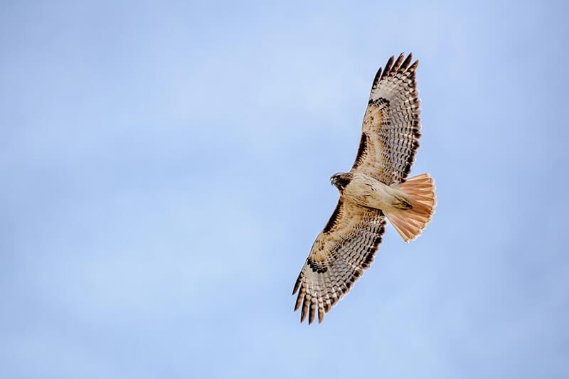 Animales aéreos - Águila en pleno vuelo