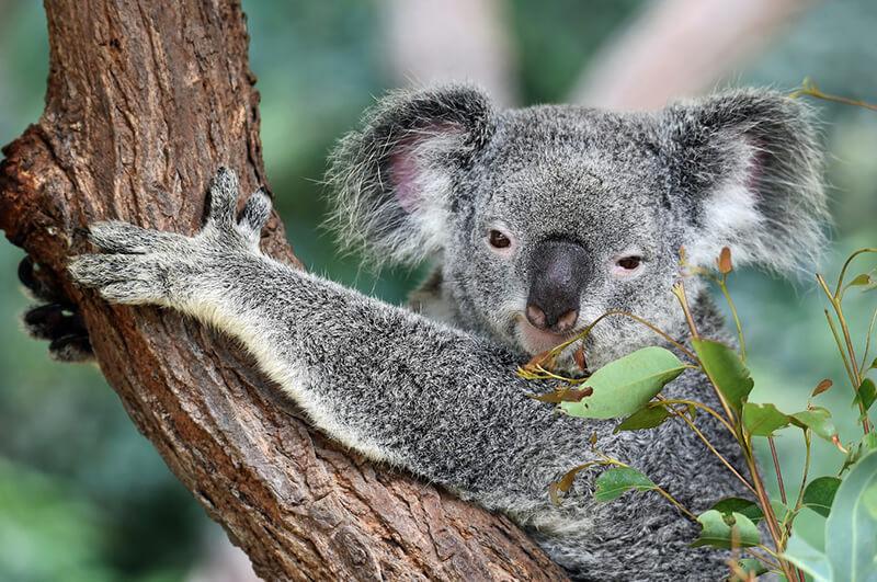 El Koala es una animal herbívoro