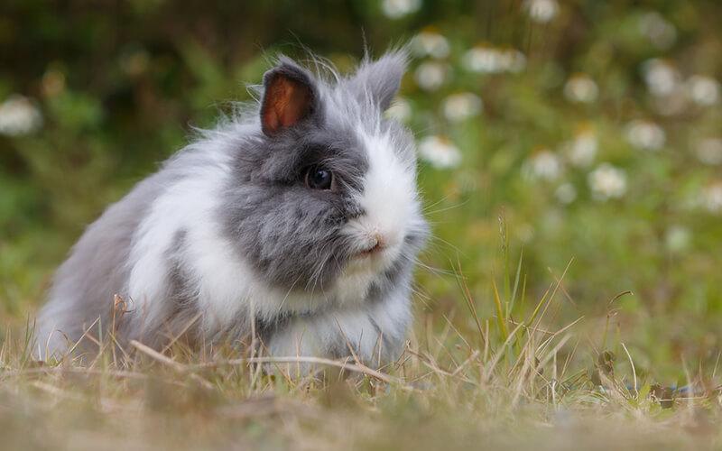 Los conejos forman parte de dieta de los humanos