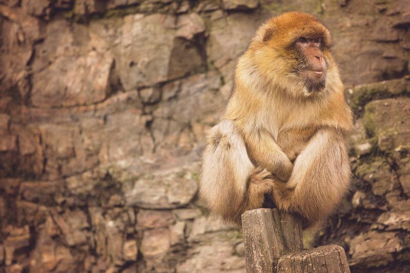 El mono es un animal mamífero
