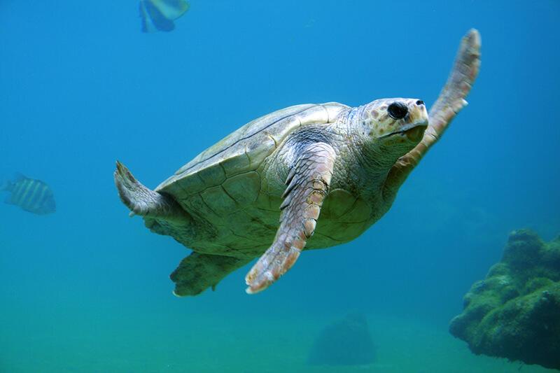 La tortuga marina forma parte de los animales marinos