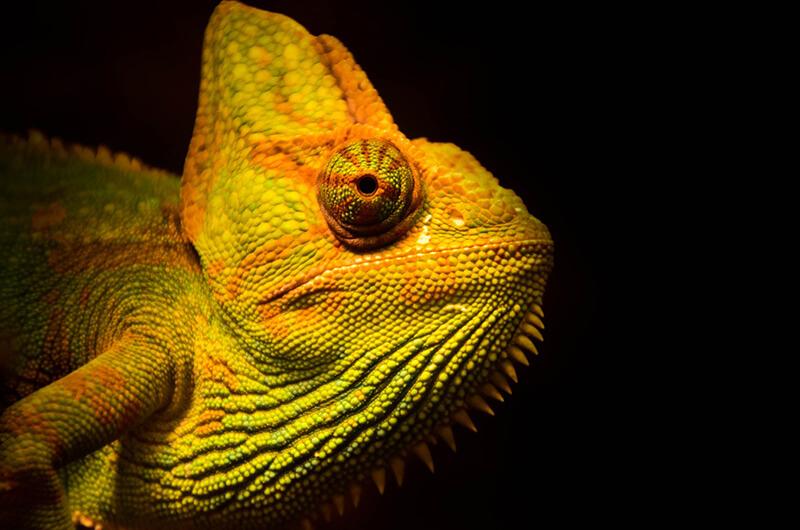 Los camaleones pueden cambiar de color para en situaciones de peligro