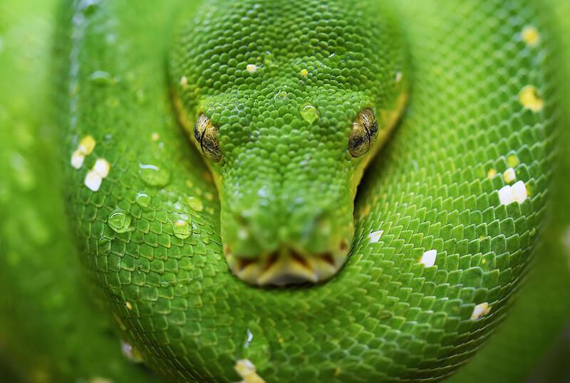 Las serpientes forman parte de los reptiles