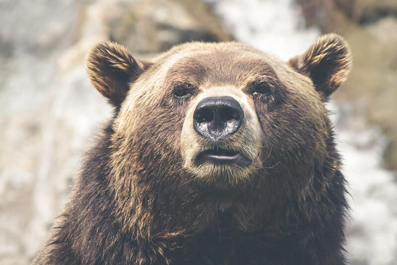 El oso pardo como animal terrestre