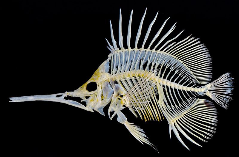 Los animales vertebrados poseen esqueletos