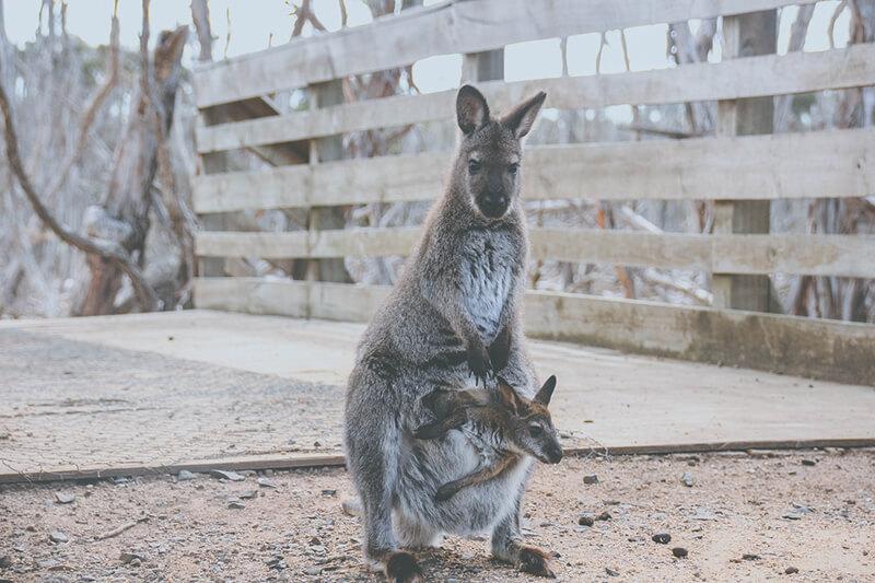 El canguro es uno de los animales vivíparos