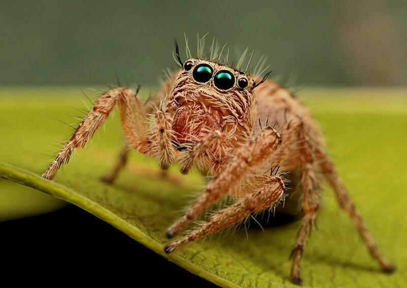 Araña saltadora - Animales arácnidos