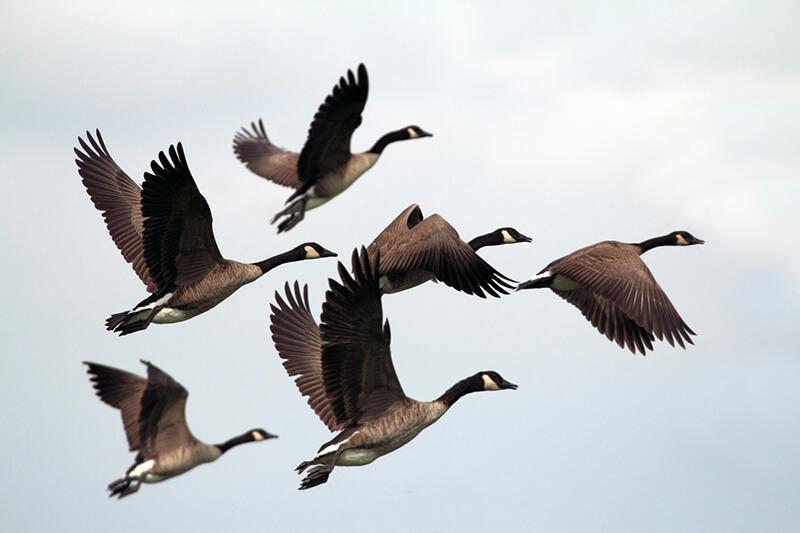 Bandada de aves en pleno vuelo
