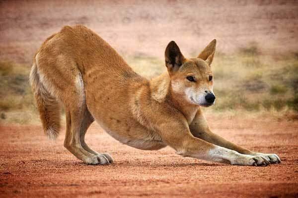 Los dingos pueden vivir en solitario o en manada,