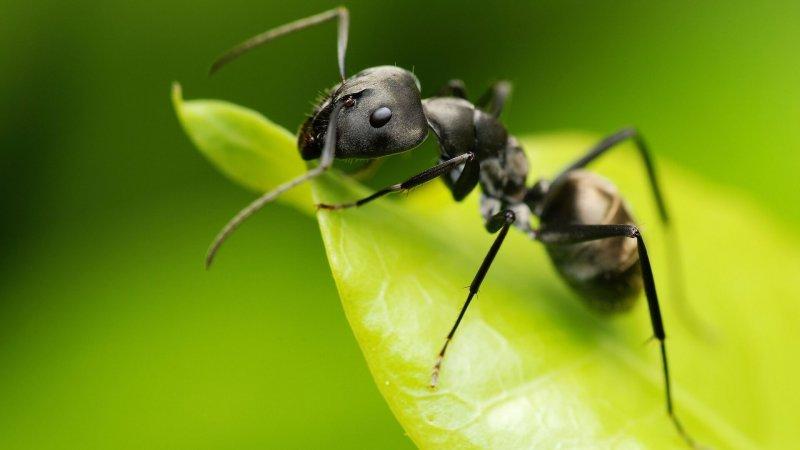 Una hormiga sobre una hoja,
