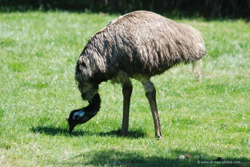 Emú adulto comiendo.
