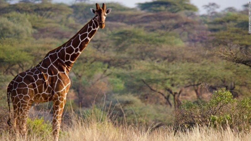 Imagen de una jirafa adulta