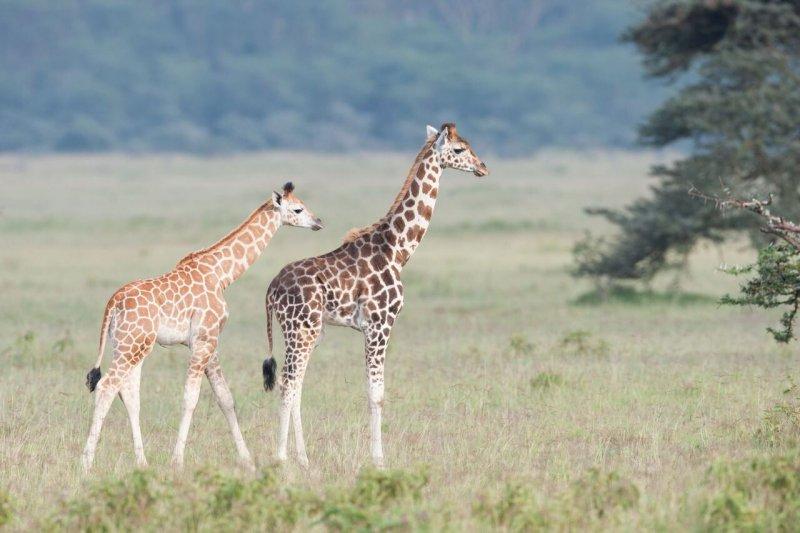 2 jirafas paseando