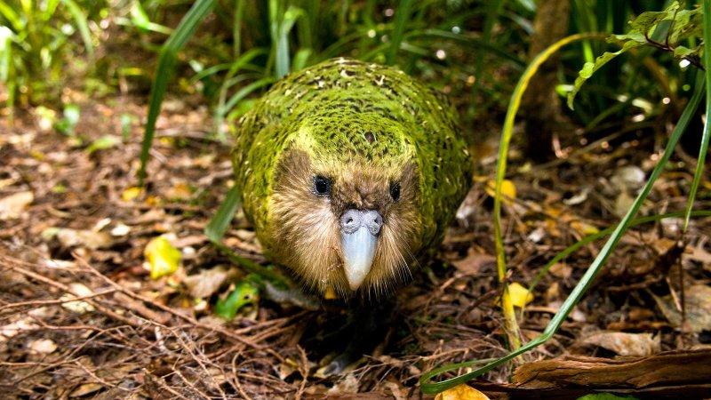 Imagen de un kakapo de frente