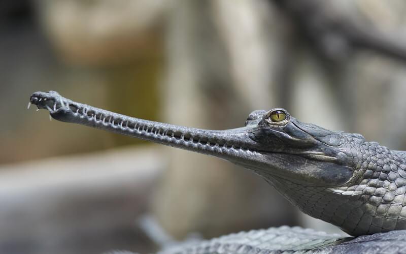El gavial es un tipo de cocodrilo caracterizado por su enorme hocico.