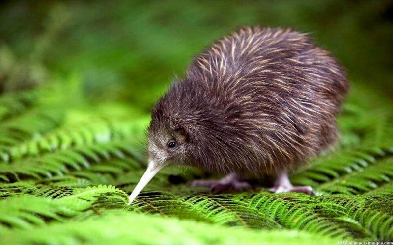 El kiwi está en peligro crítico de extinción.