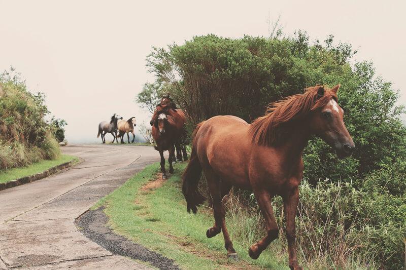 Manada de caballos trotando