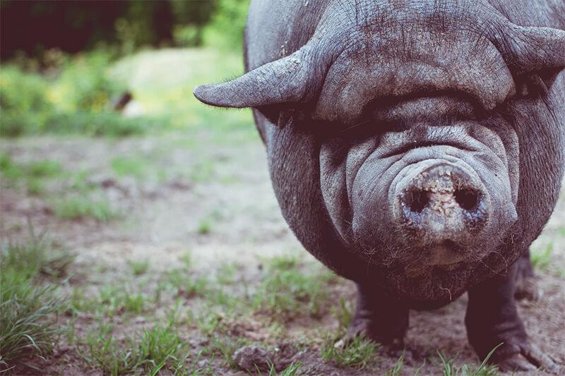 Cerdo en libertad