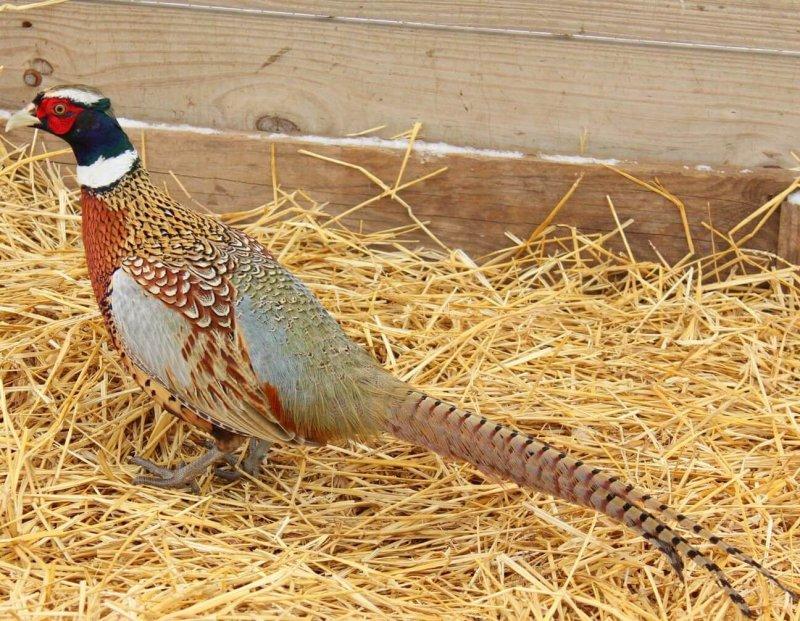 El faisán es un ave que se encuentra prácticamente en todo el mundo