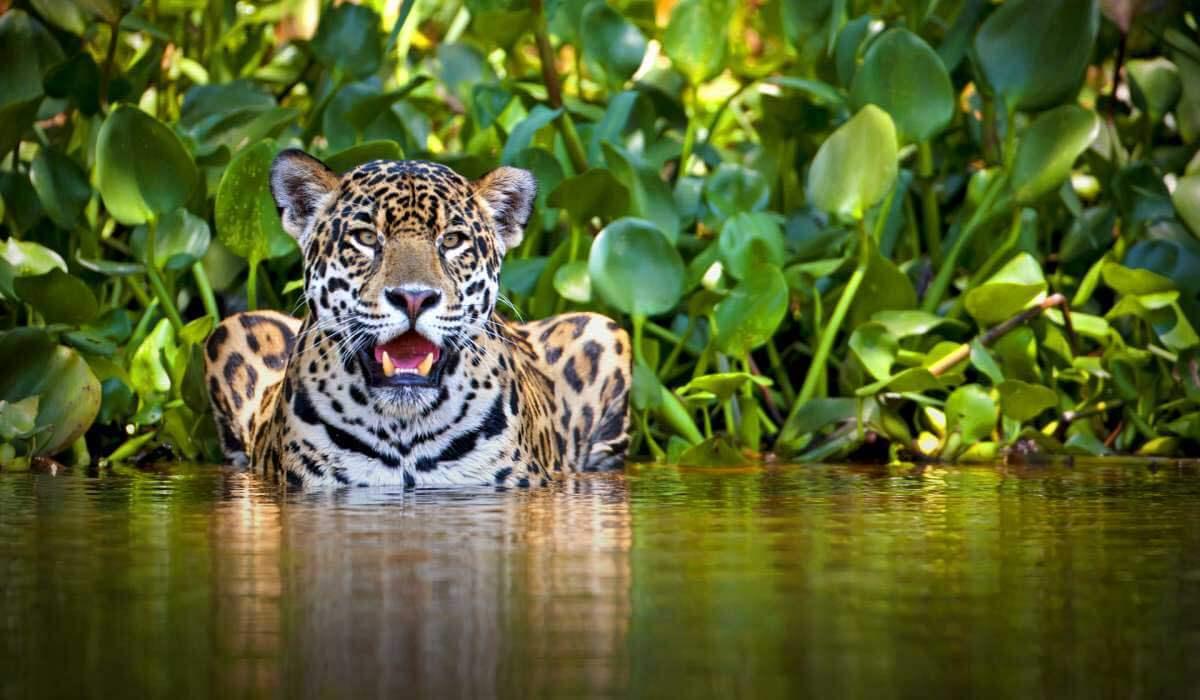 Un jaguar refrescándose.