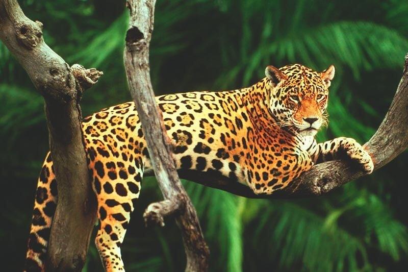 El jaguar es un felino carnívoro.