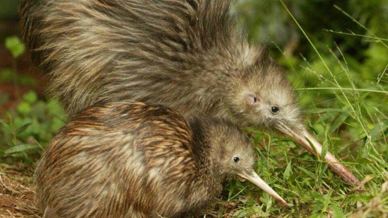 Un kiwi con su cría buscando comida.