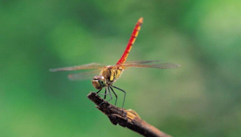 La libélula sólo vive unas semanas en su etapa adulta.