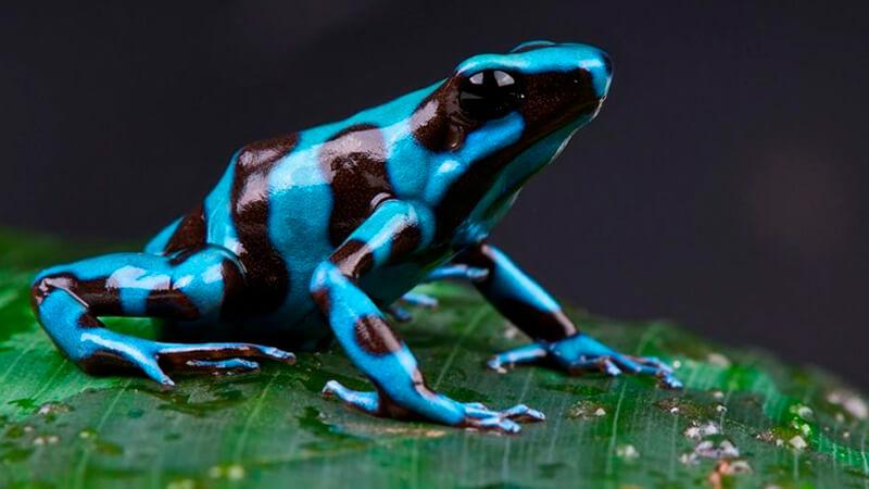 Rana dardo venenosa - Variedad azul