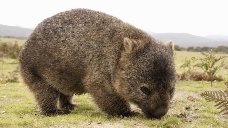 Imagen de un wombat