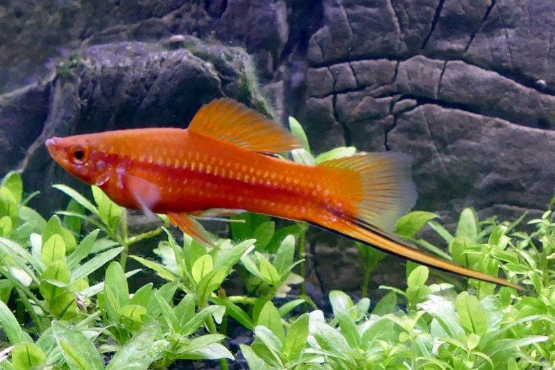 El xifóforo es un pez muy popular entre personas con peceras.