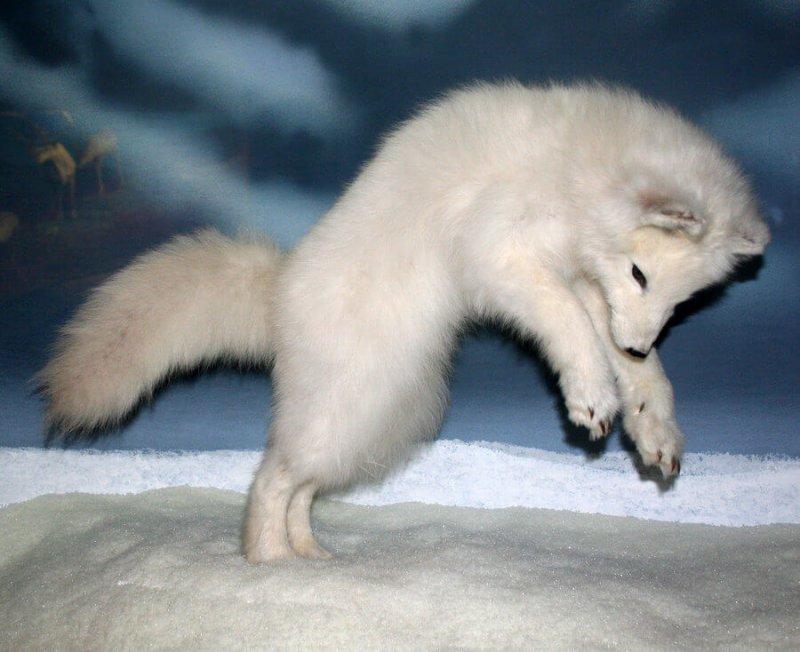 Imagen de una cría de zorro polar