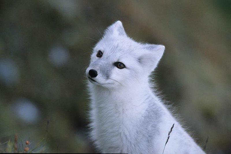 Imagen de un zorro polar