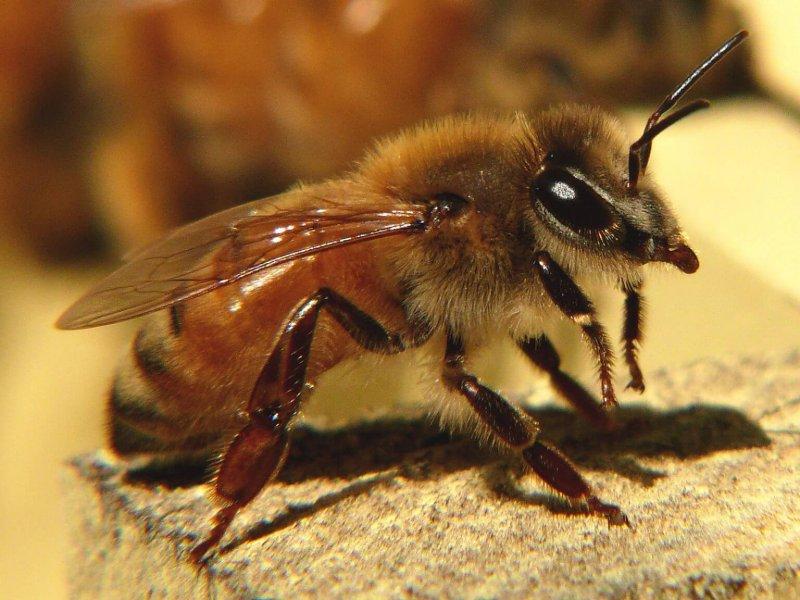Una abeja obrera