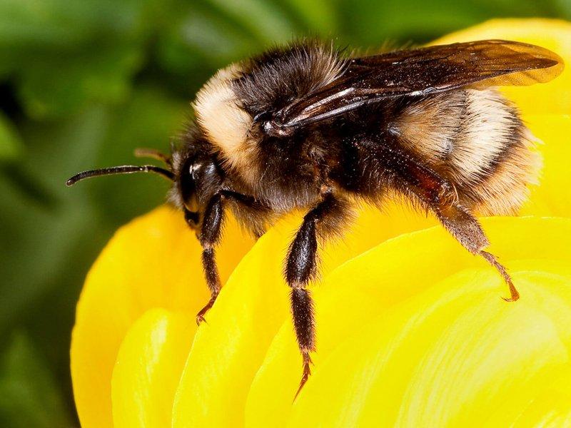 Podemos apreciar cómo se alimenta un abejorro.