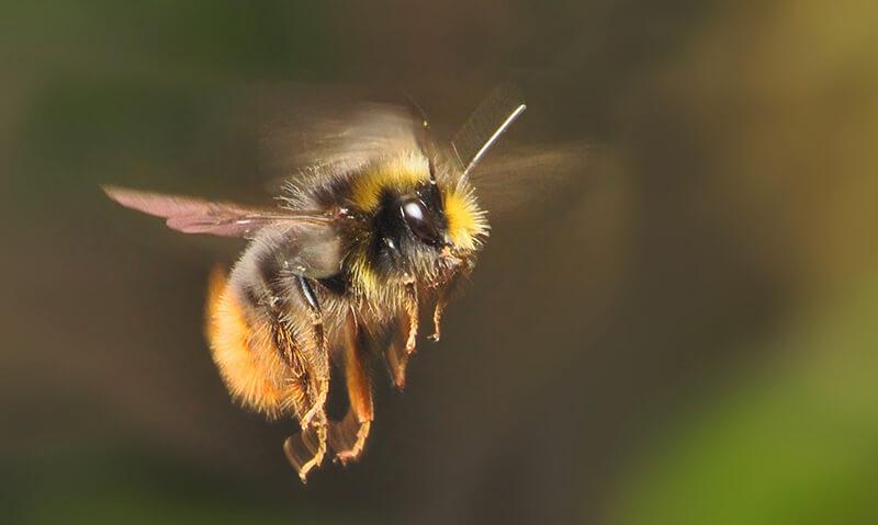 El abejorro es un simpático insecto que vive en casi todo el planeta.