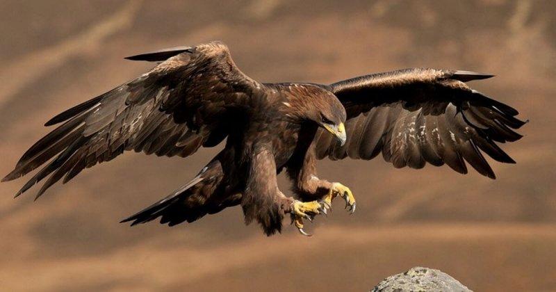 El águila es un animal solitario.