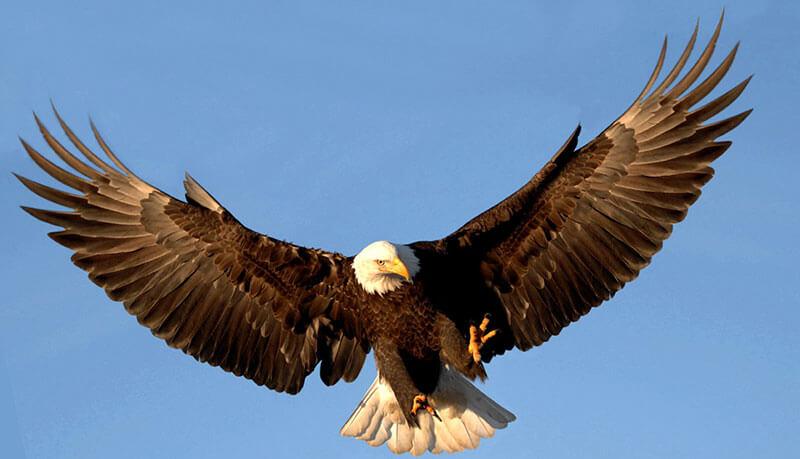 El águila es un bonito ave rapaz