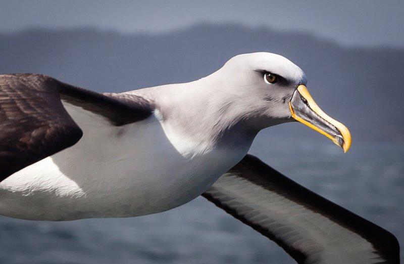 Un albatros en pleno vuelo.