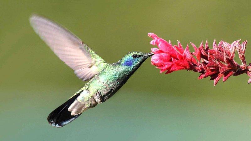 El colibrí se alimenta principalmente de néctar.