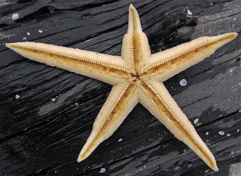 Estrella de mar regenerándose