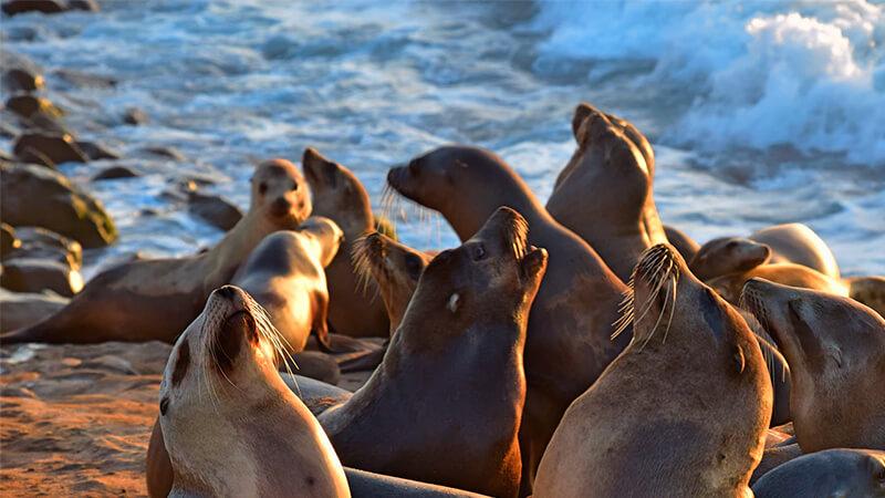 Manada de focas