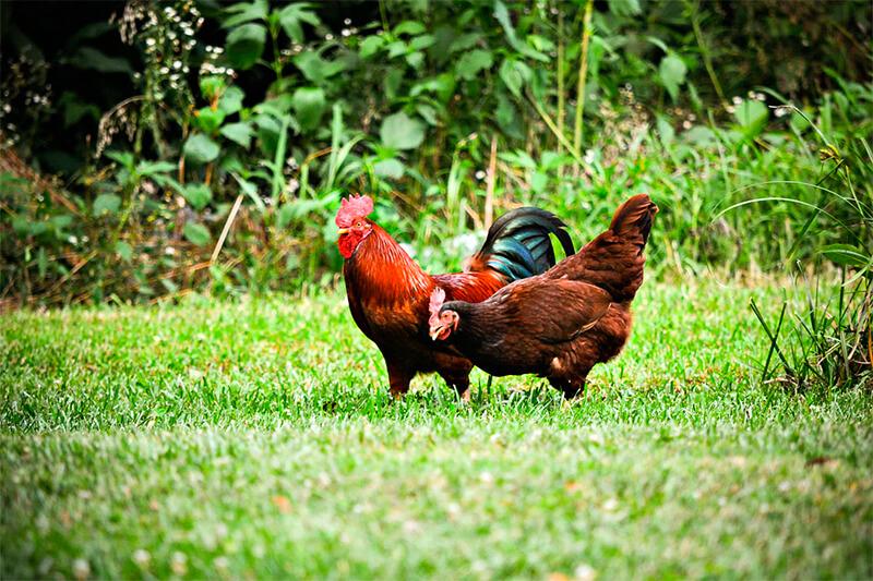 Diferencias entre un gallo (izquierda) y una gallina (derecha)
