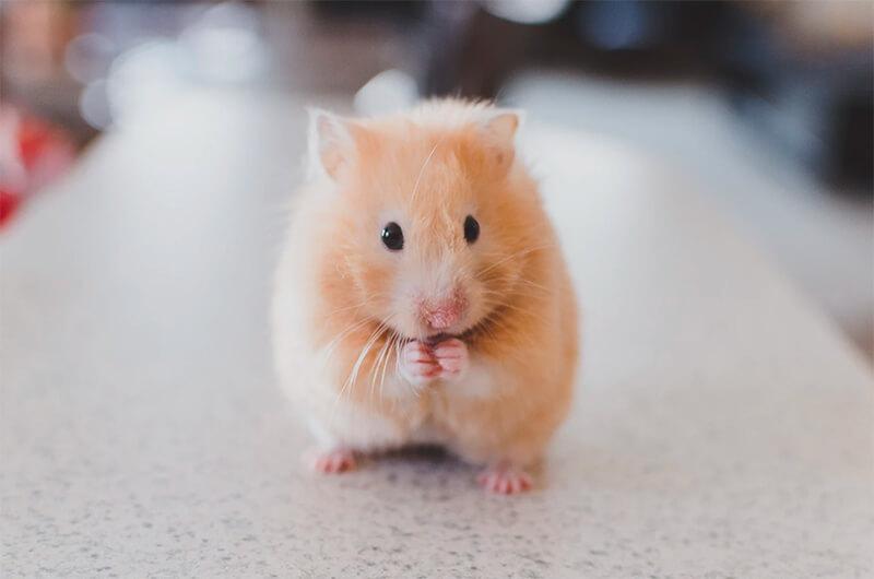 Hámster adorable