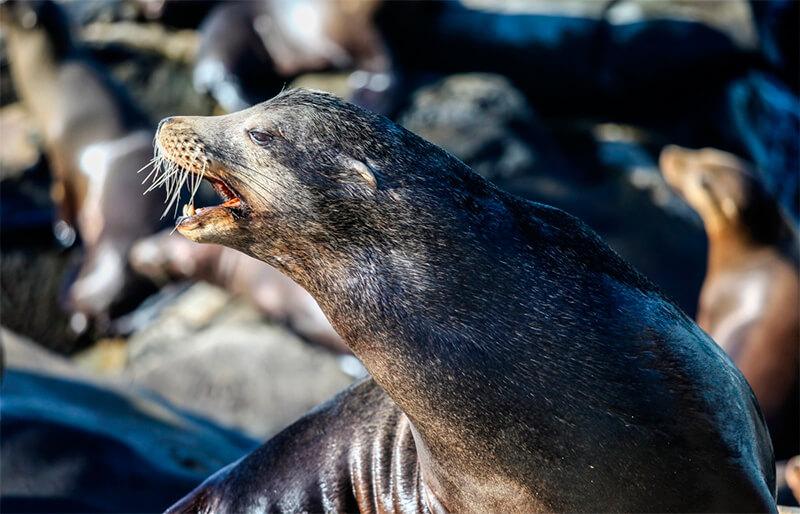 León marino macho mostrándose agresivo